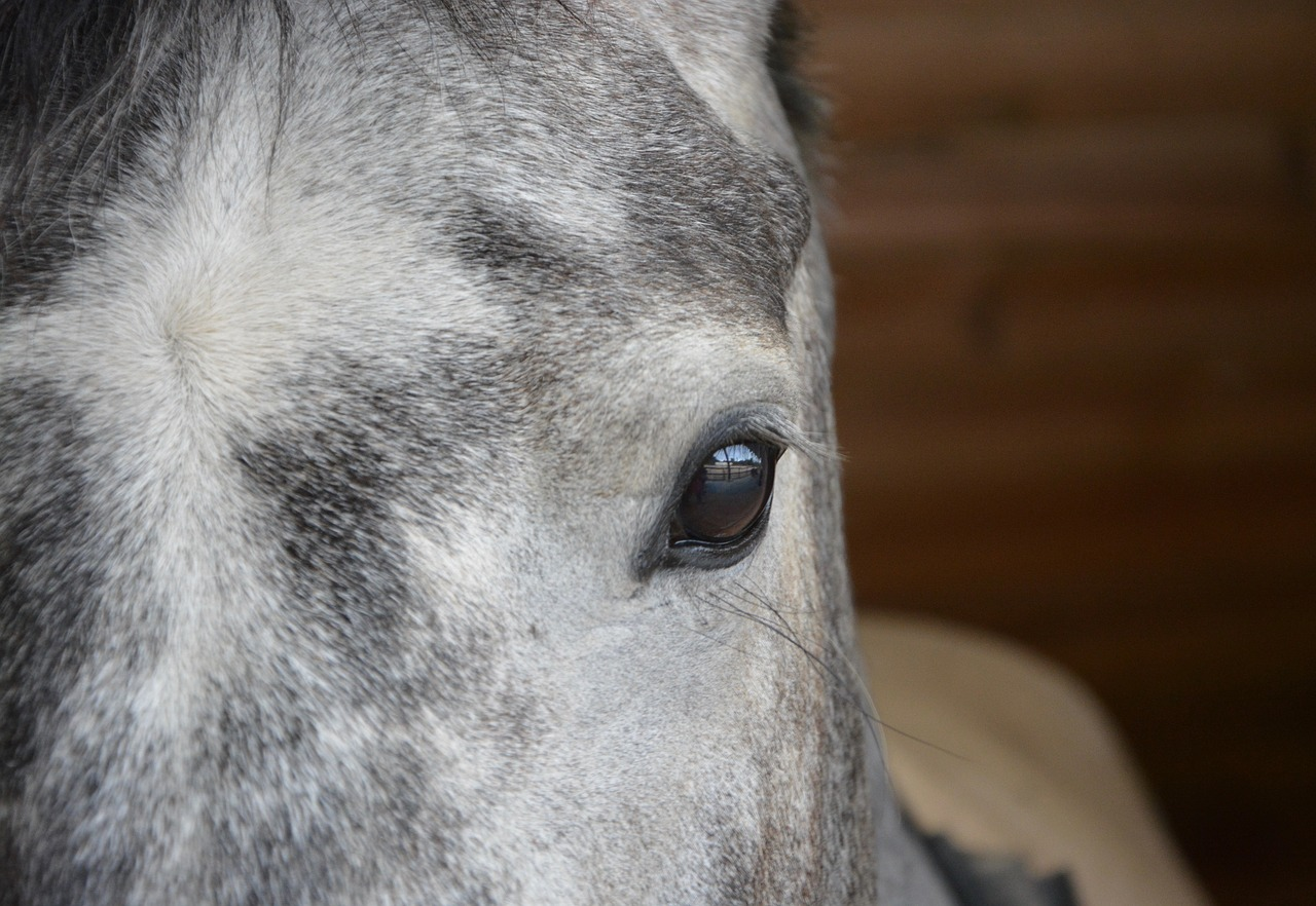 Horse,eye,eye brown muzzle,grey,look - free image from needpix.com