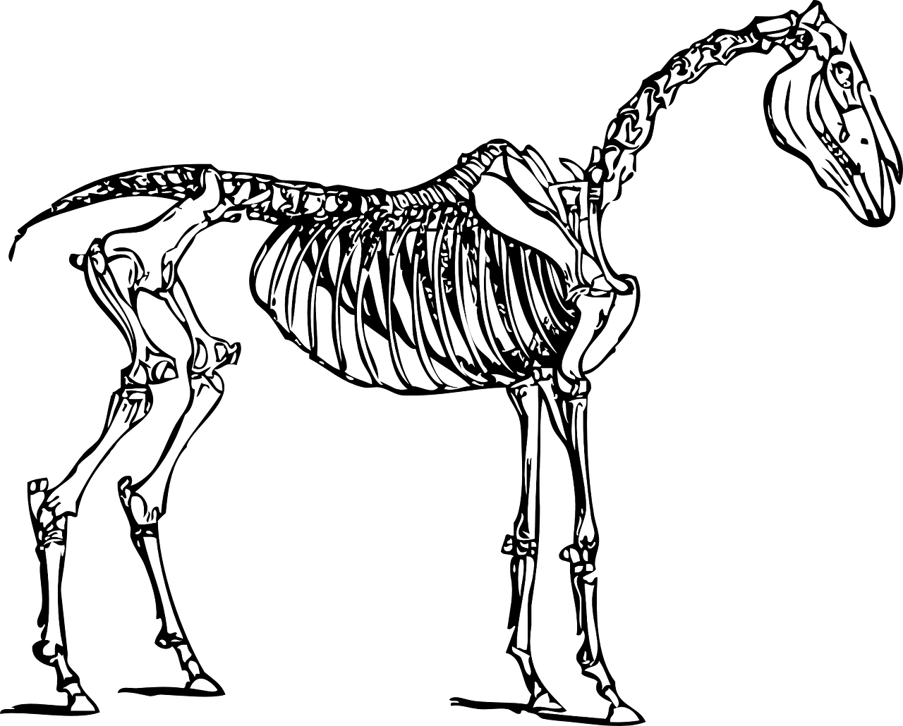 horse anatomy skeleton free photo