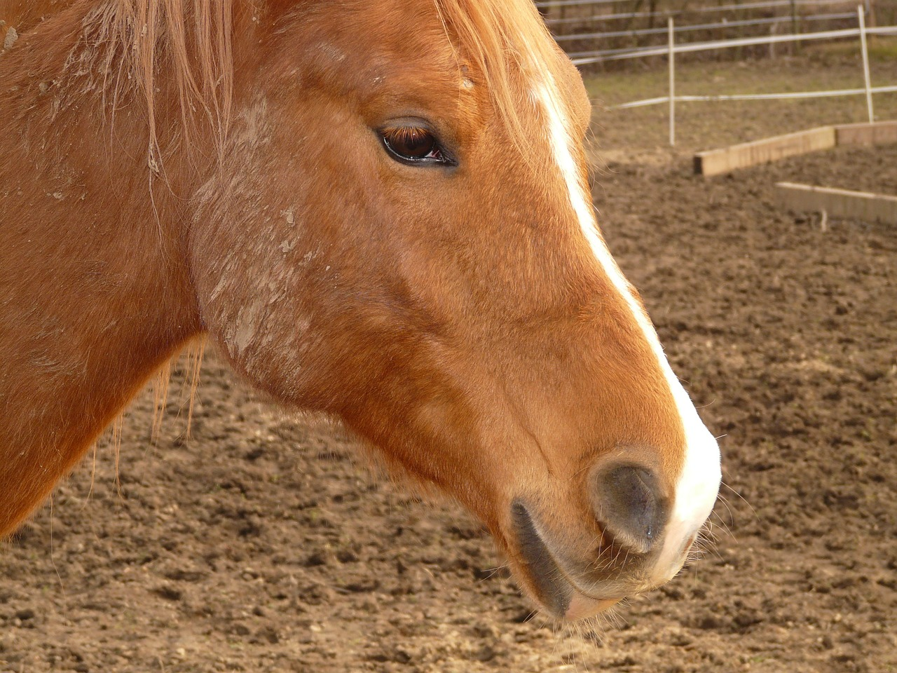 horse pony animal free photo