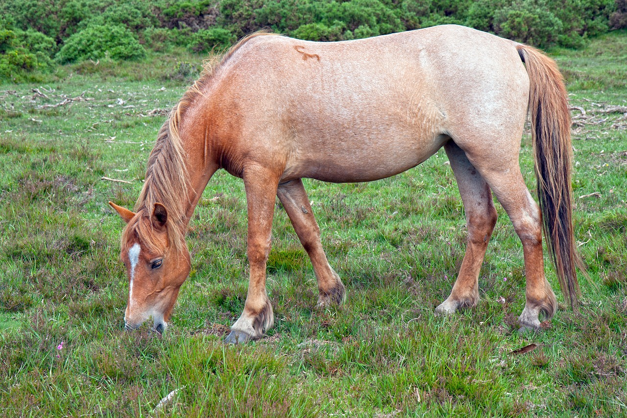 Horse,pony,strawberry roan,roan,new forest pony - free image from  needpix.com