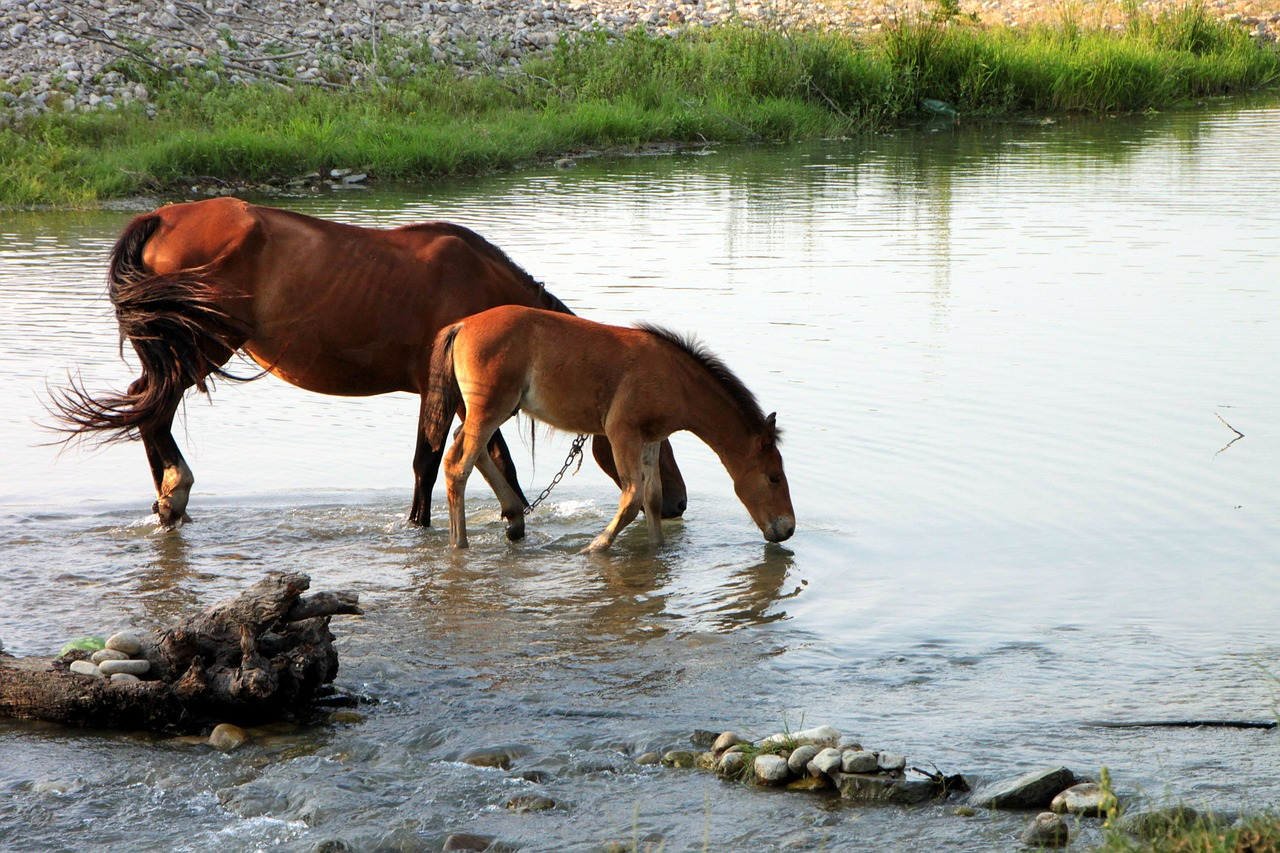 horses drink water free photo