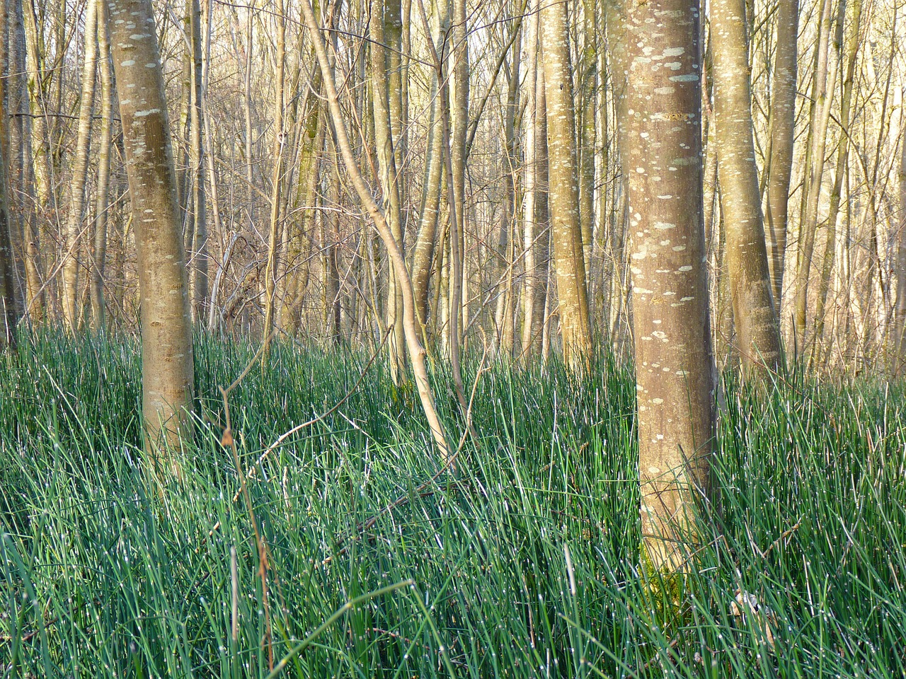 horsetail marsh plant forest free photo