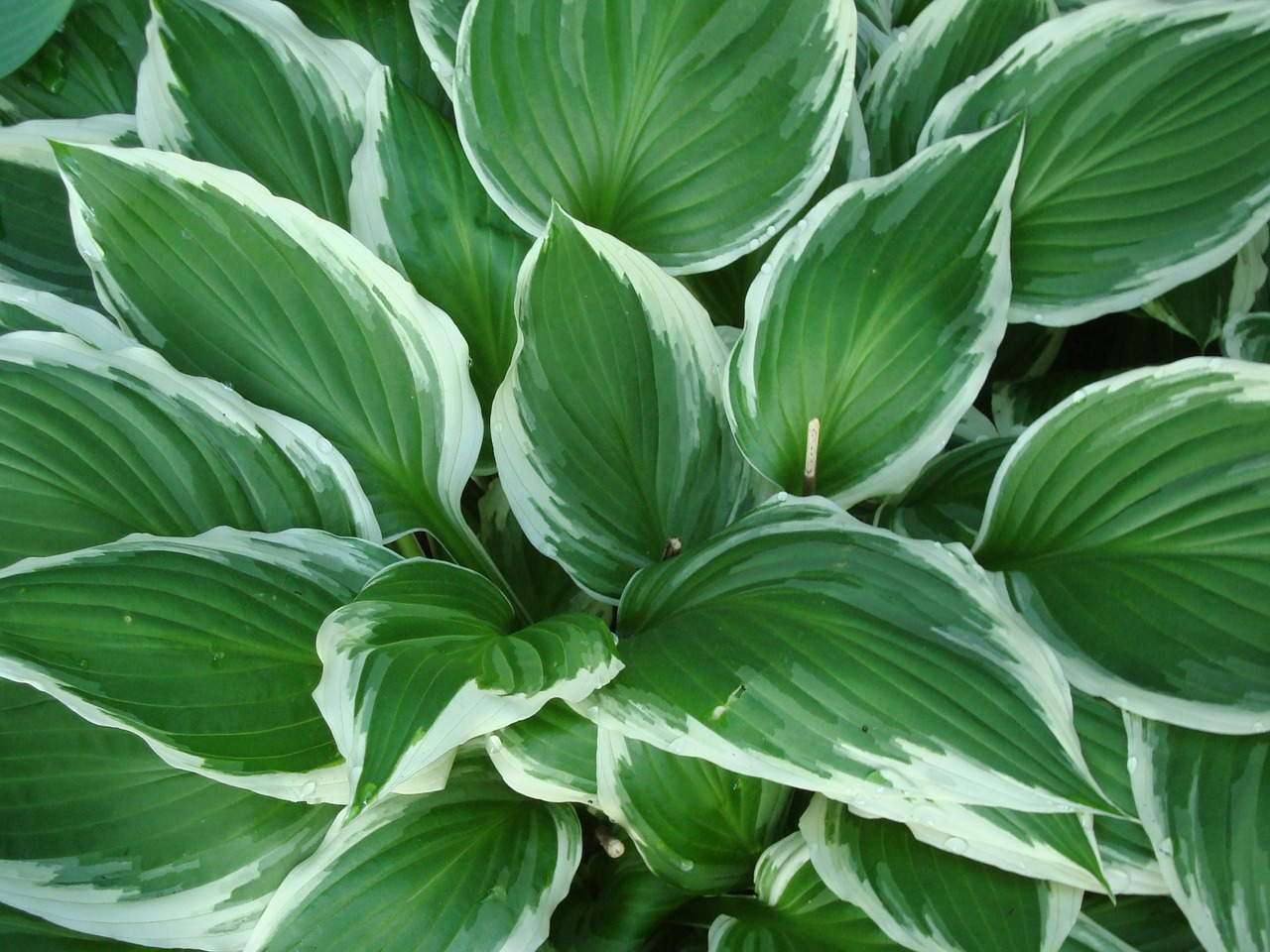Hostashadeplantleavesvariegated Free Photo From Needpixcom