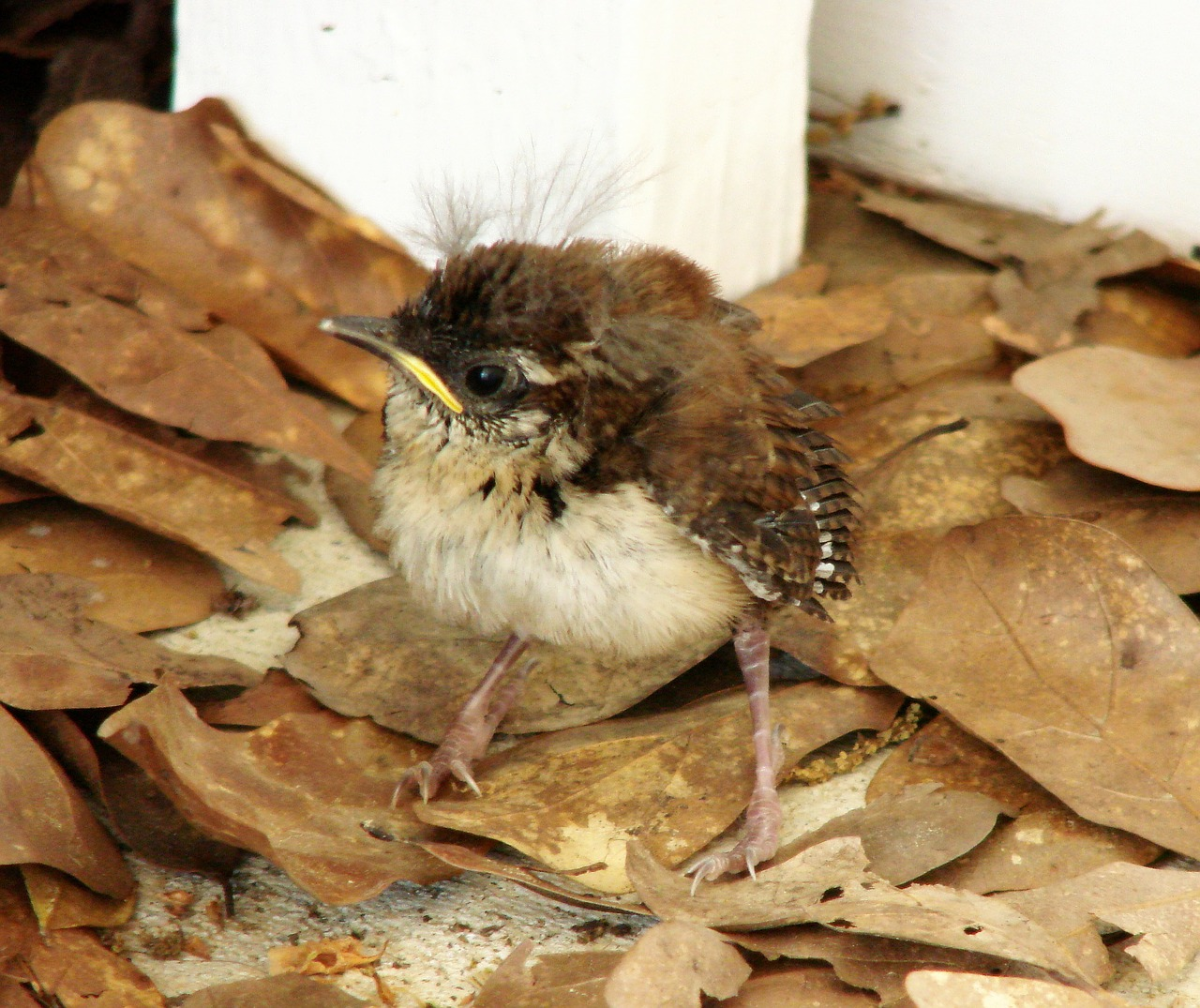 house wren chick baby free photo