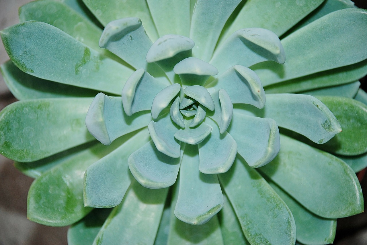 houseleek alpine houseleek plant free photo