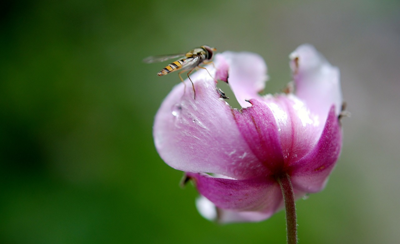 hover fly flower fly syrphid fly free photo
