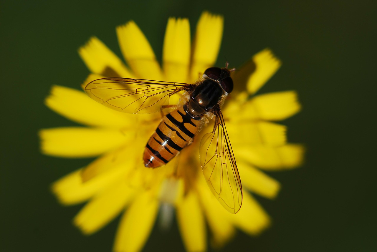 hover fly insect close free photo