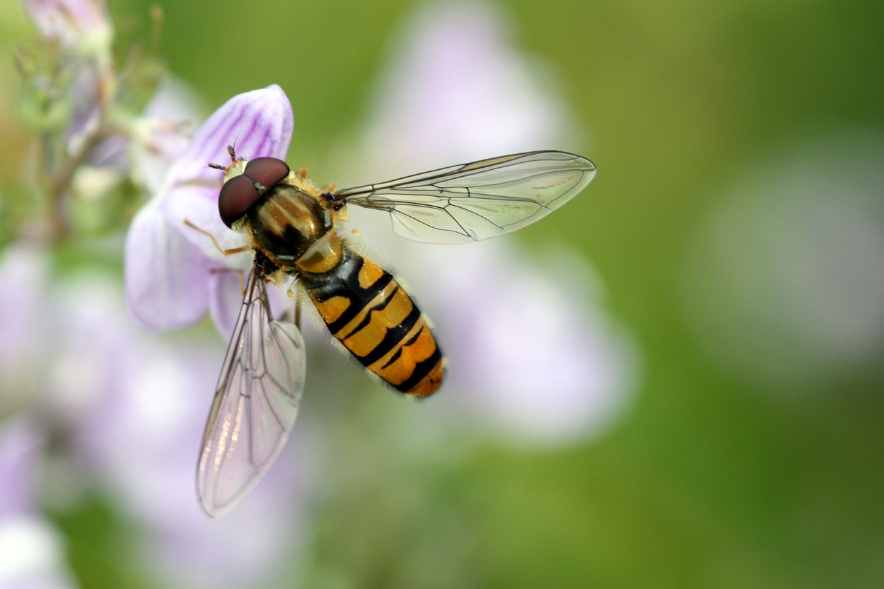hoverfly,flower fly,wings,flower,insect,nature,yellow,fly,striped,macro,bug,wild,pollen,wildlife,close-up,free pictures, free photos, free images, royalty free, free illustrations