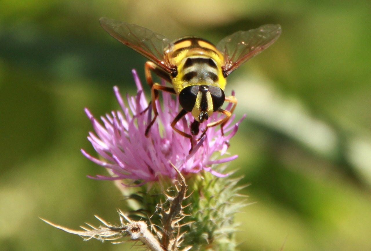 hoverfly flower fly bee free photo