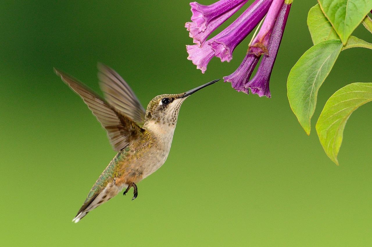 Hummingbird,flying,feeding,wildlife,nature - free image from ...