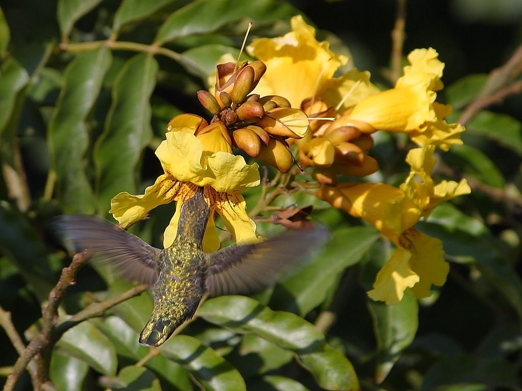 hummingbird flower nectar nectar free photo