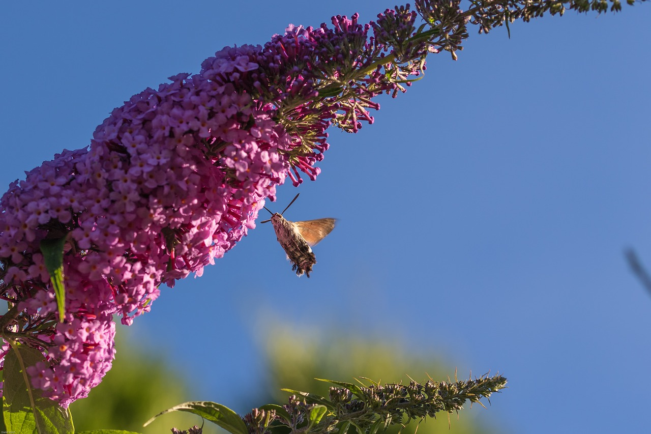 hummingbird hawk moth,insect,flower,blossom,bloom,moth,butterfly,nature,buddleja,summer lilac,buddleja davidii,free pictures, free photos, free images, royalty free, free illustrations, public domain