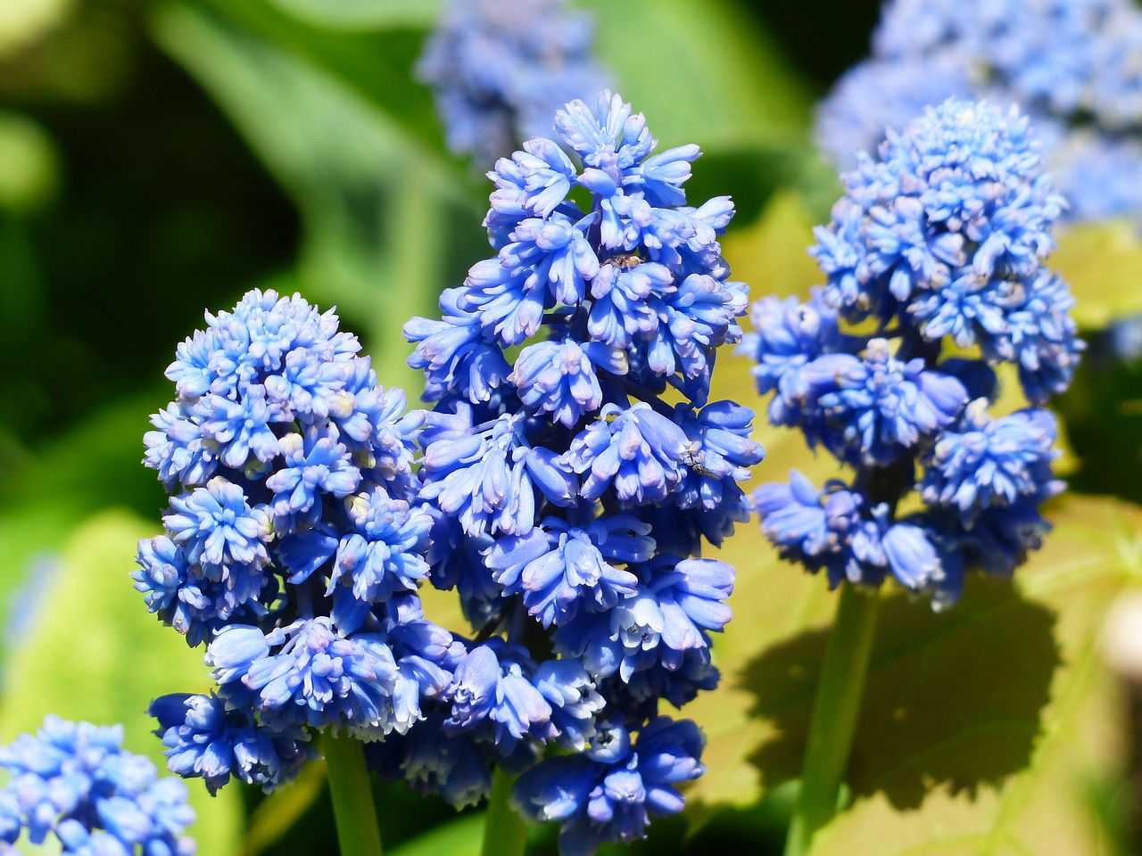 hyacinth muscari armeniacum blossom free photo