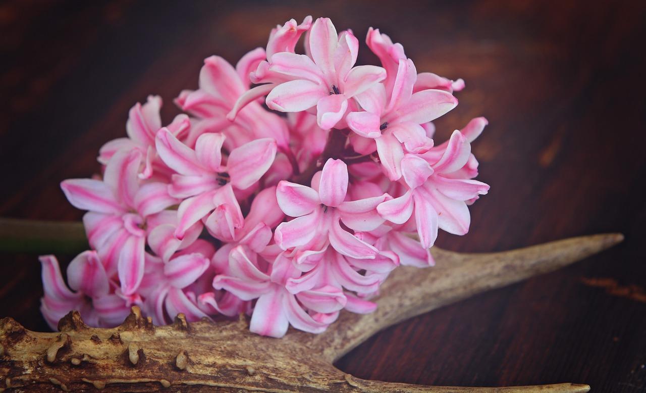 Hyacinthflowerflowerspinkplant Free Photo From Needpix