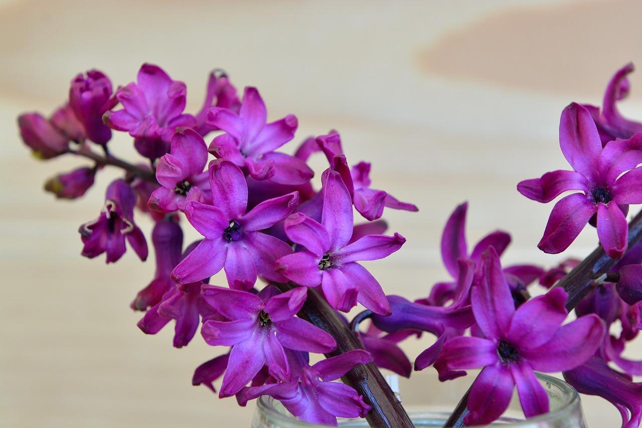 Hyacinthflowerfragrant Flowerflowerspurple Free Photo From