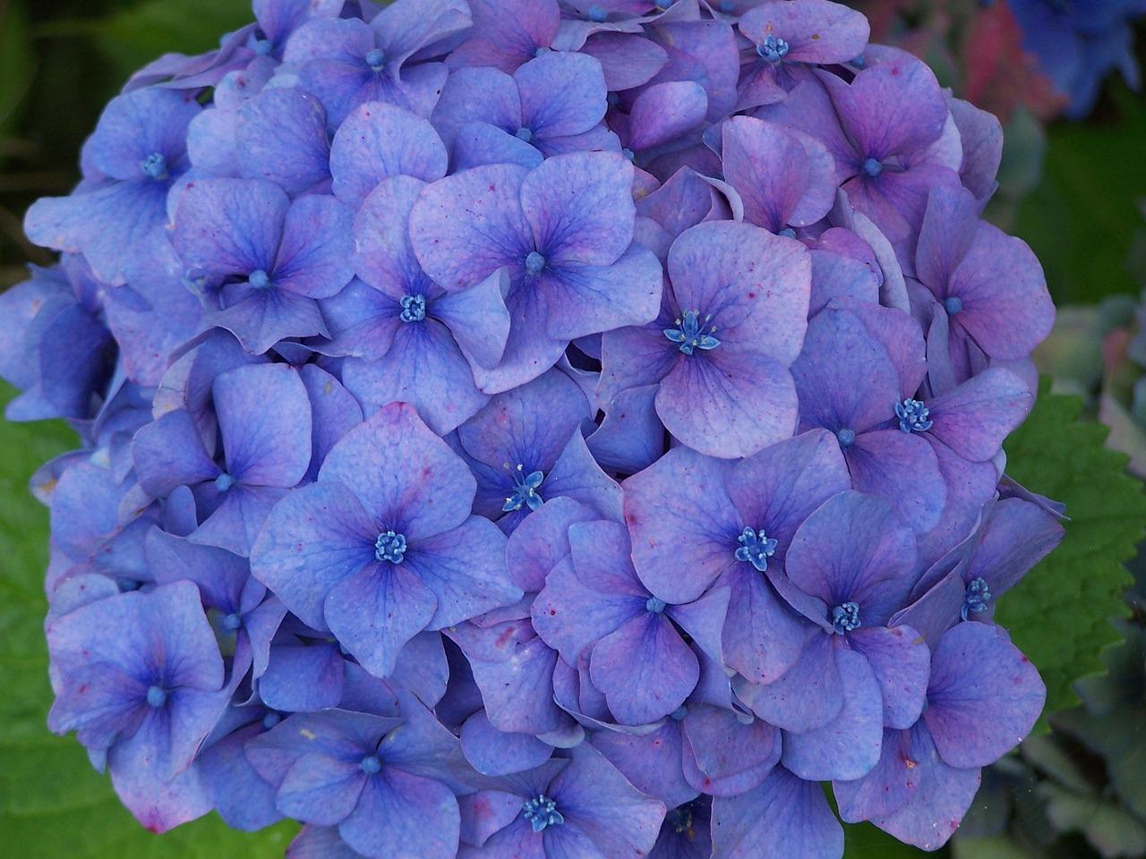 Hydrangeablueflowerbrittanyblue Flowers Free Photo From