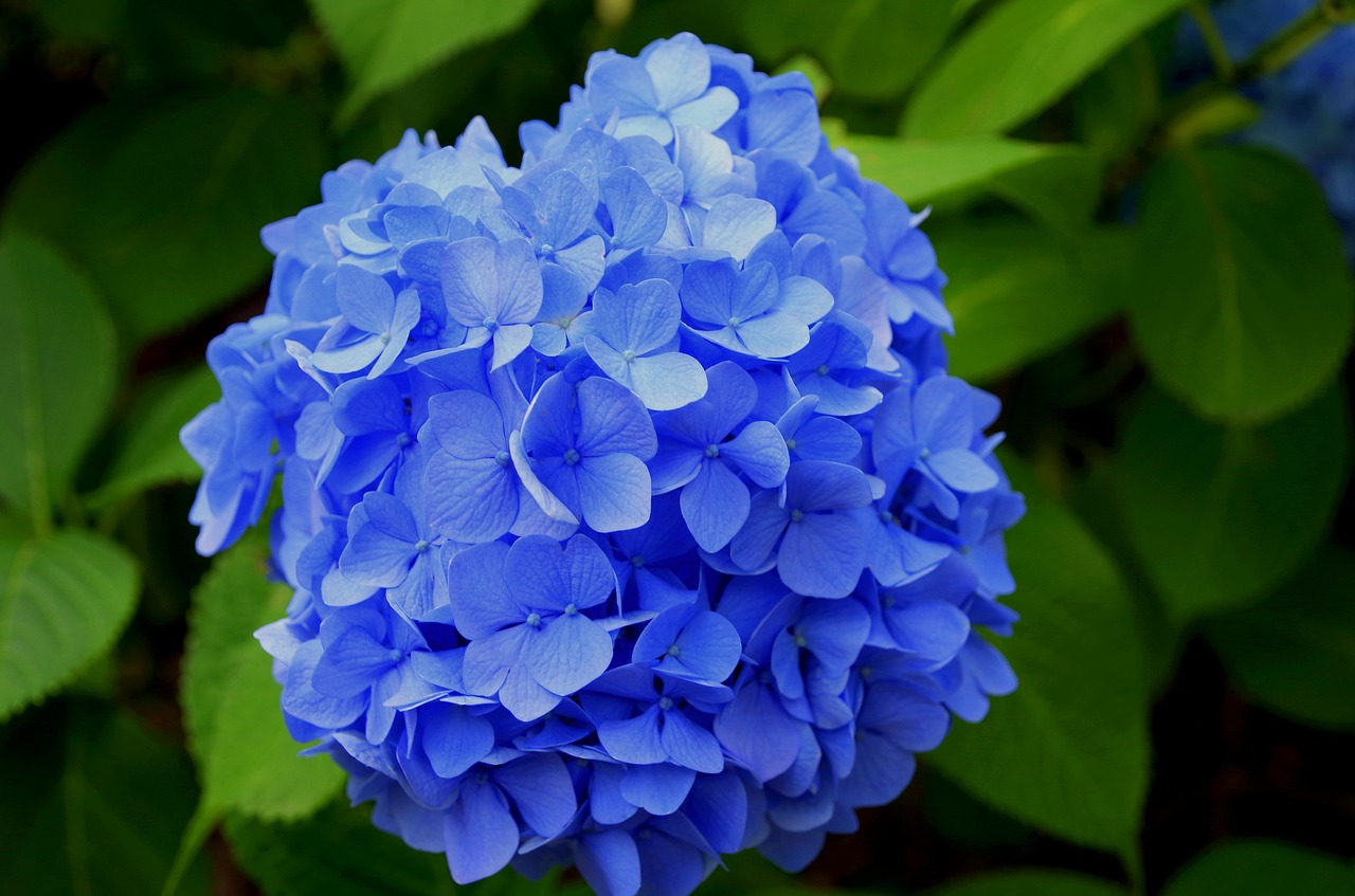 hydrangea purple japan free photo