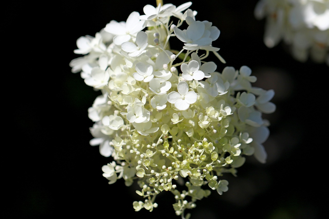 hydrangea plants nature free picture