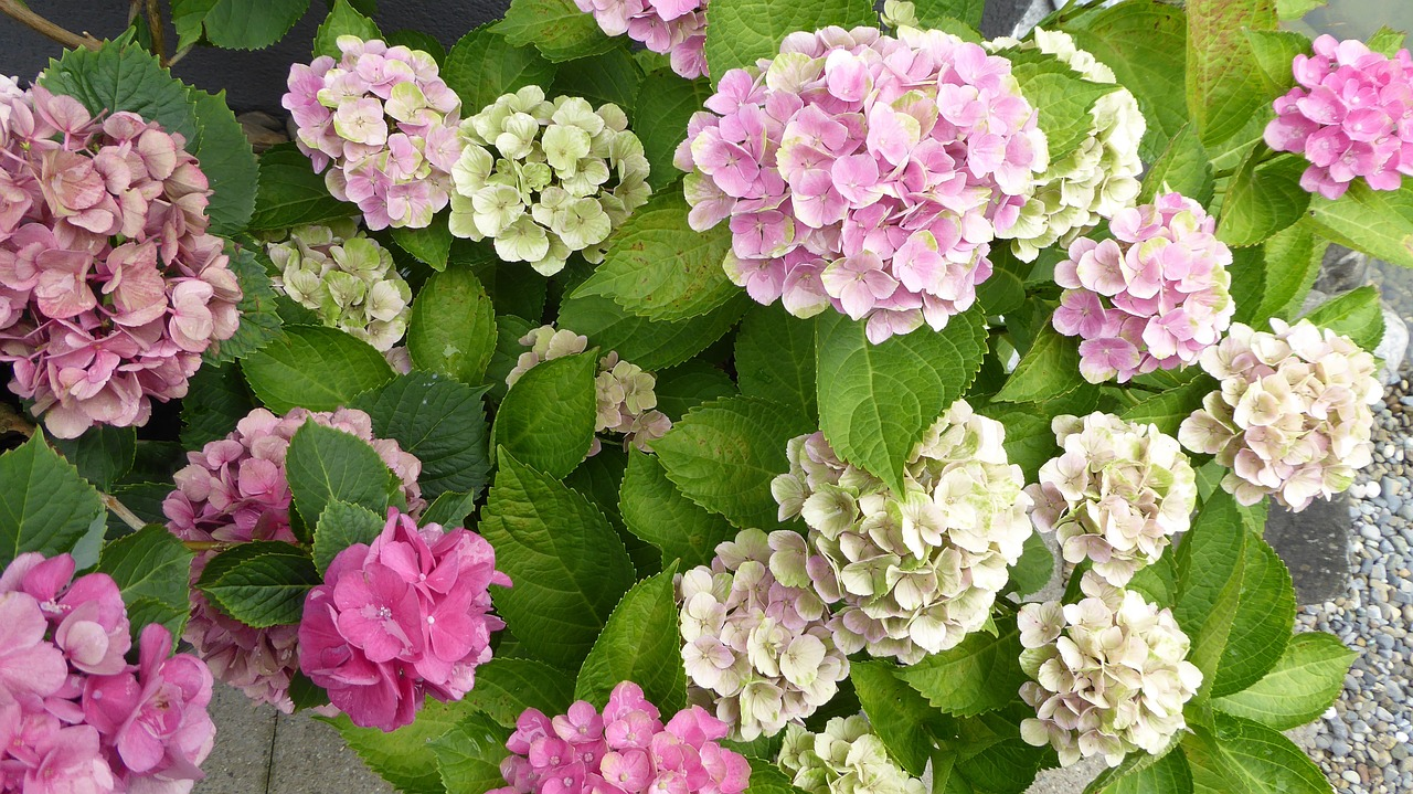 hydrangeas flowers pink free picture