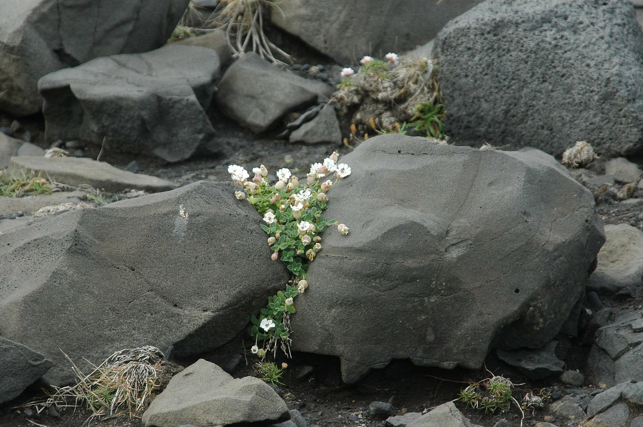 iceland volcano flower free photo