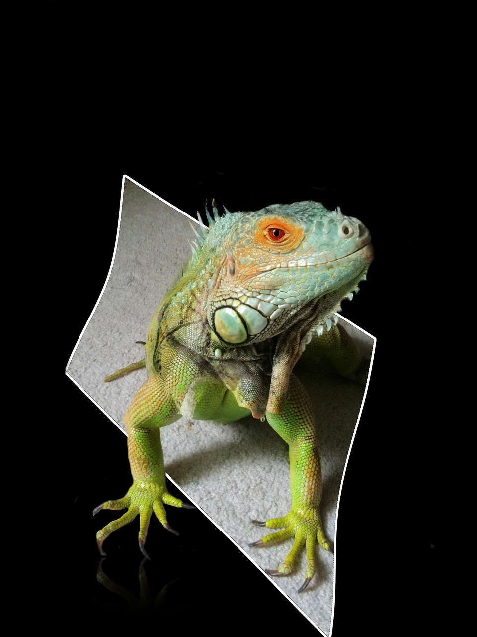 iguana reptile lizard free photo