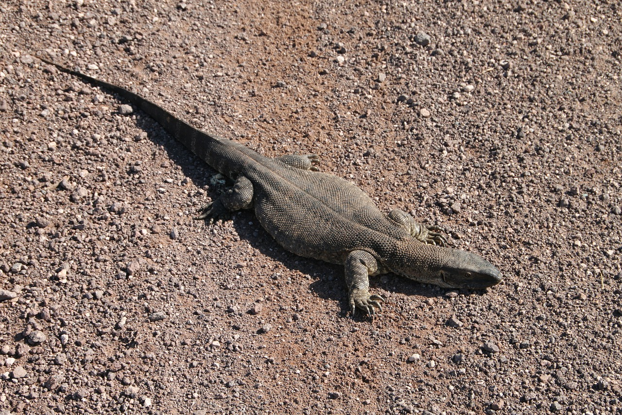 iguana,saurian,namibia,desert,africa,creature,wildlife,african,animal,brown,free pictures, free photos, free images, royalty free, free illustrations, public domain