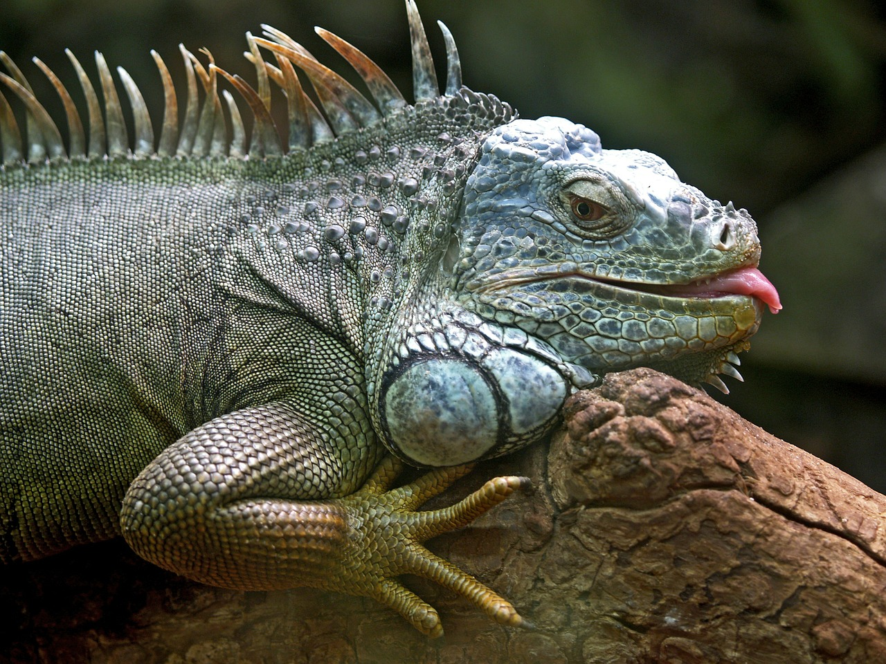 iguana lizard animal free photo