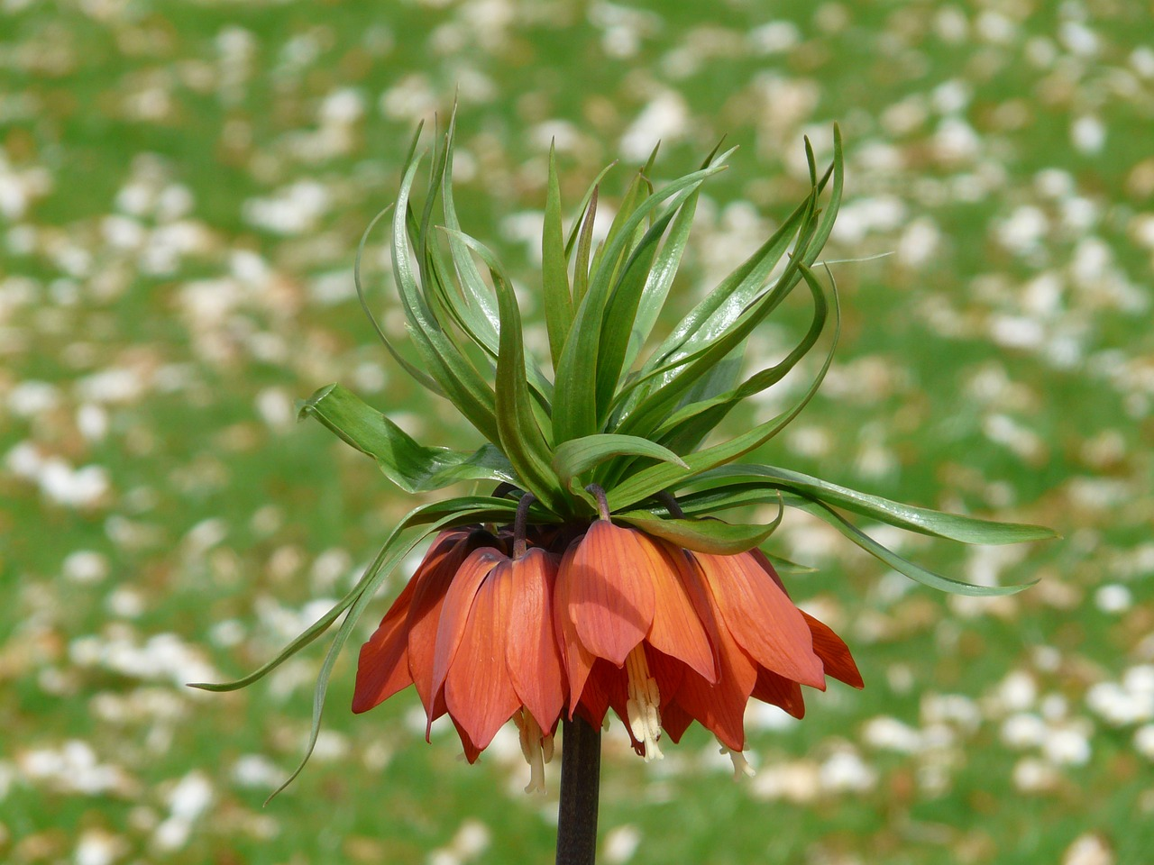 imperial crown fritillaria imperialis fritillaria free photo