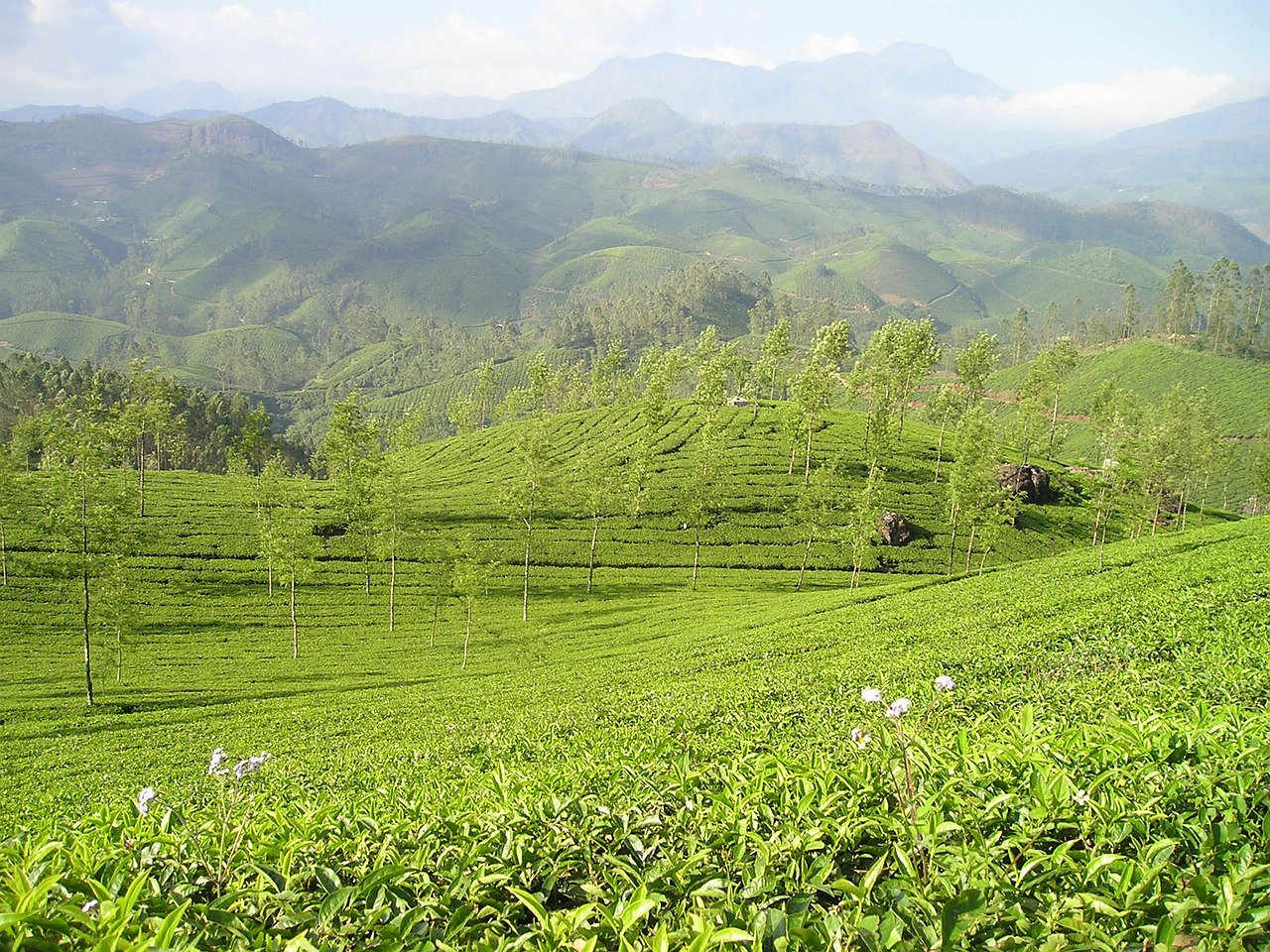 india tee tea plantation free photo