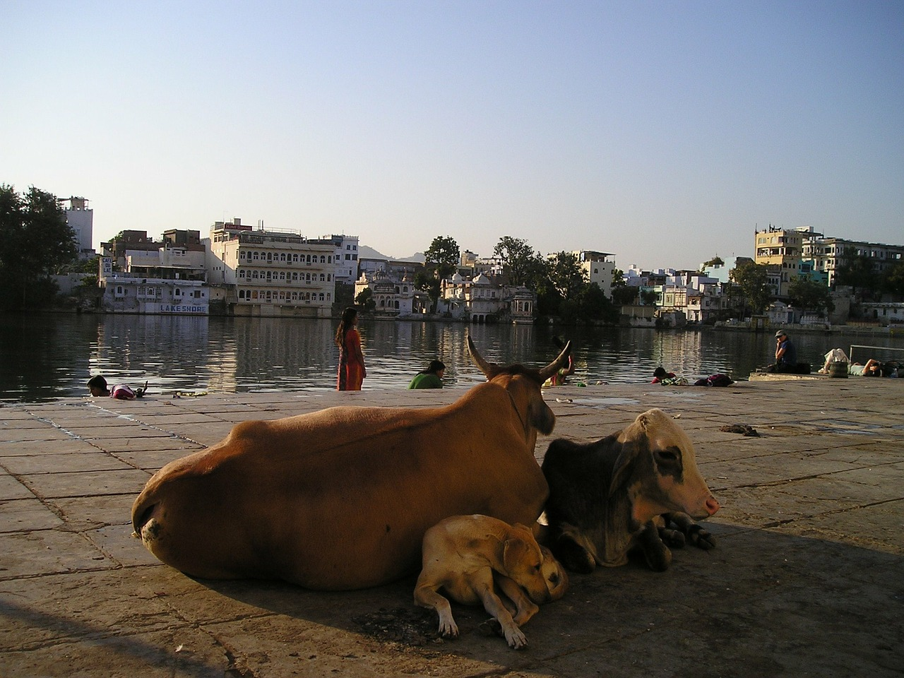 india cow dog free picture