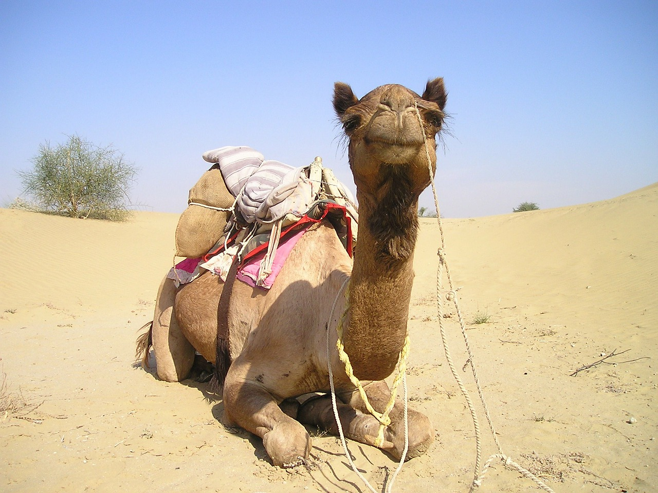 india camel desert free picture