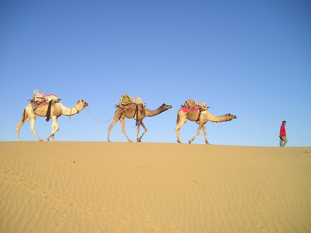 india desert camels free photo
