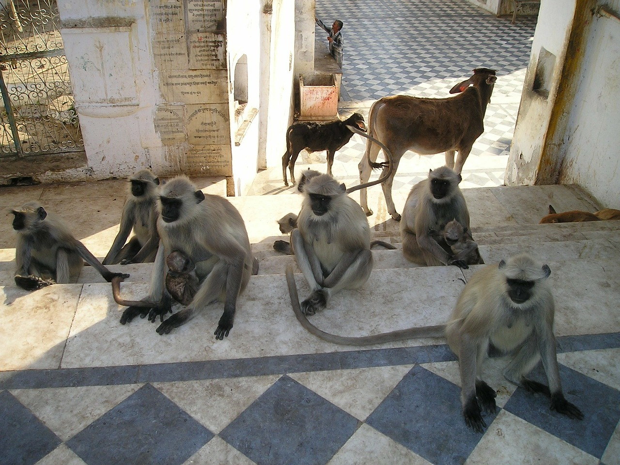 india ape ape horde free photo