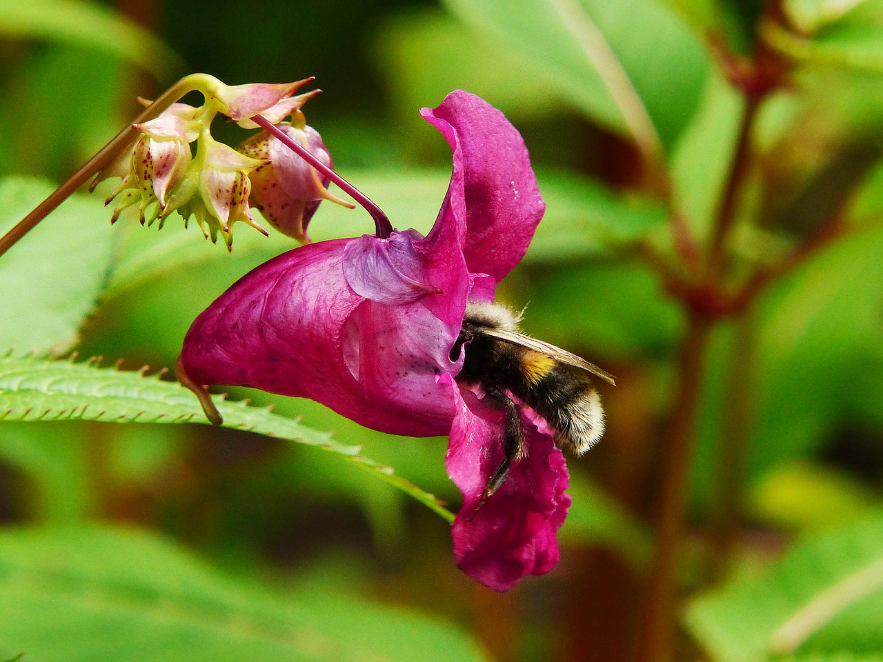 indian springkraut himalayan balsam hummel free photo