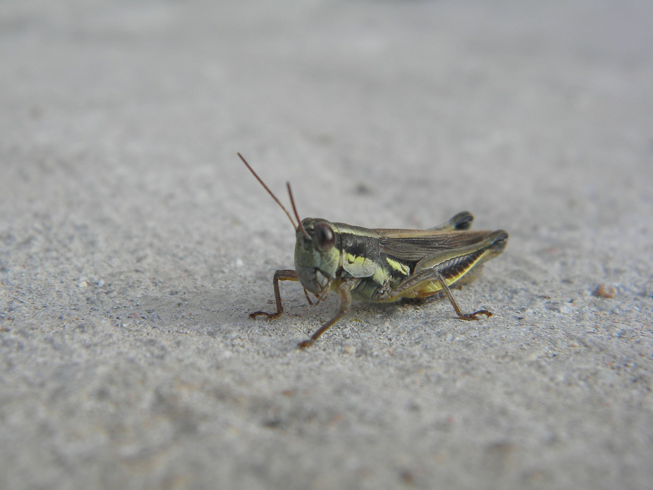 insect cricket antennas free photo