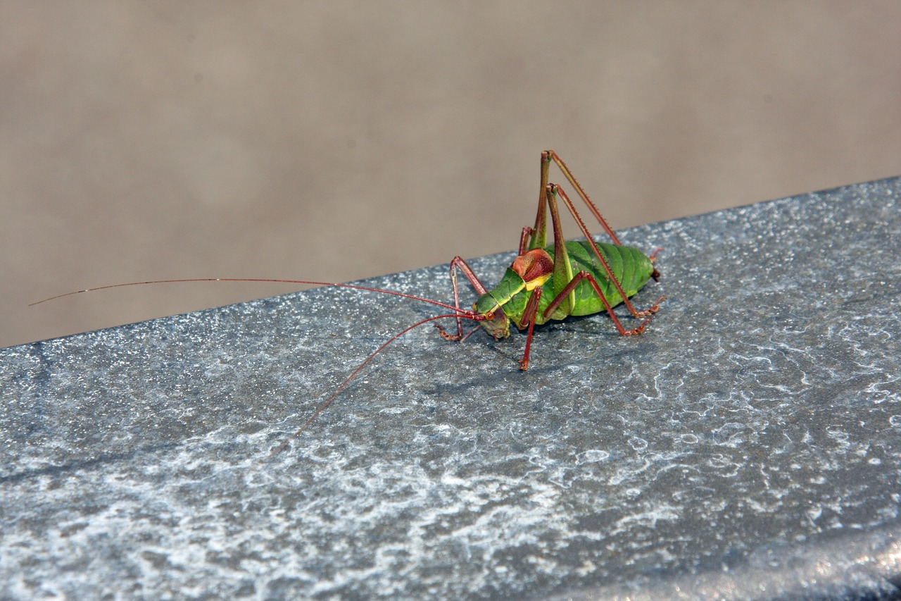 insect animal grasshopper free photo