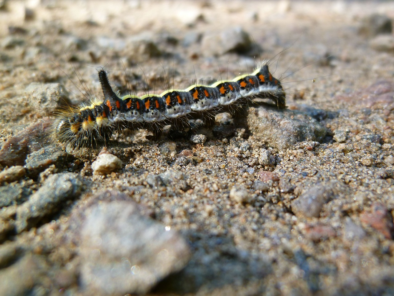 insect caterpillar arcronicta psi free photo