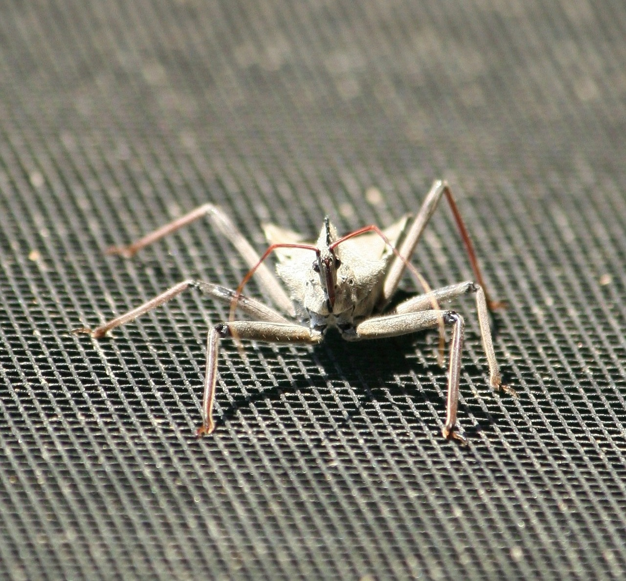 insect wheel bug assasin insect free photo