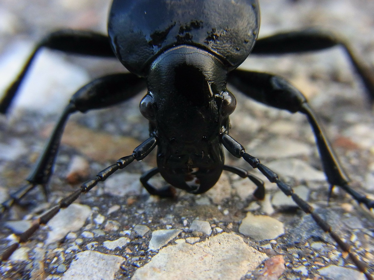 insect beetle ground beetles free photo
