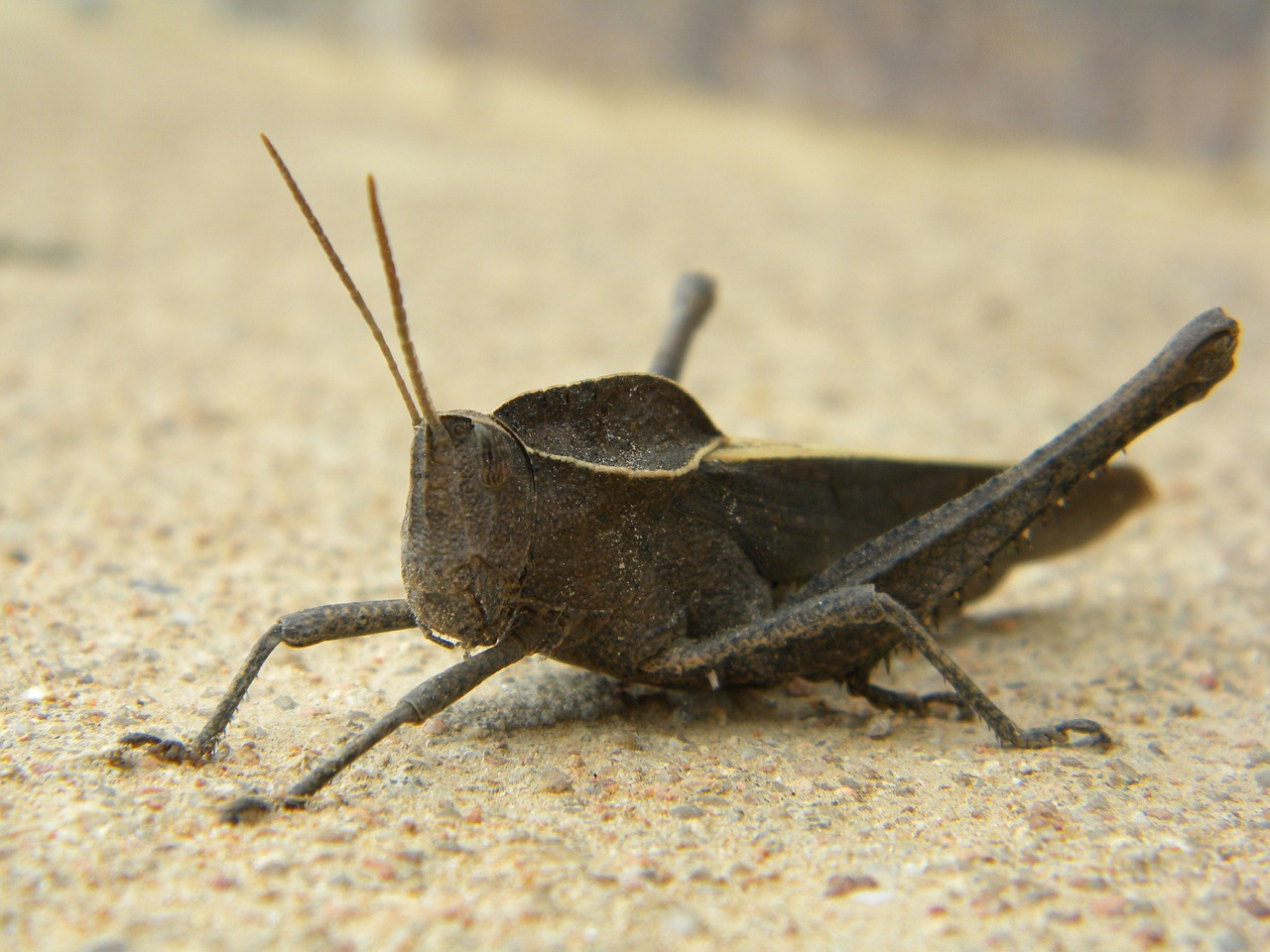 insect grasshopper animal free photo