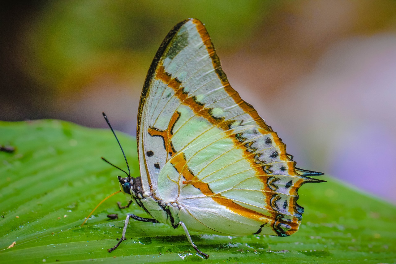 insects,online chinese-english dictionary,wong nymphalidae,nature,the forests,butterfly,free pictures, free photos, free images, royalty free, free illustrations, public domain
