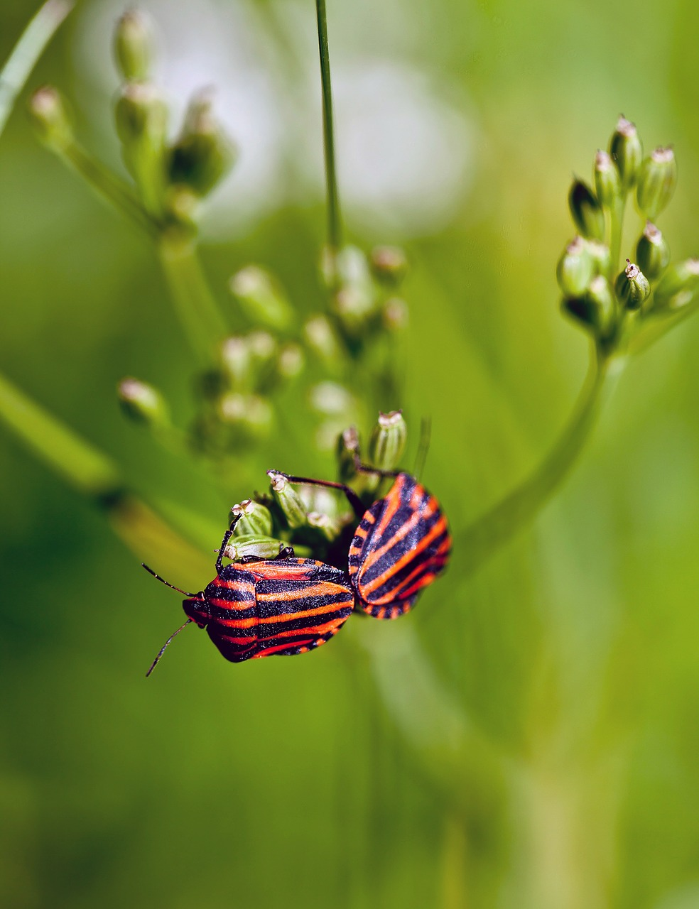 insects graphosoma baldaszówka free photo