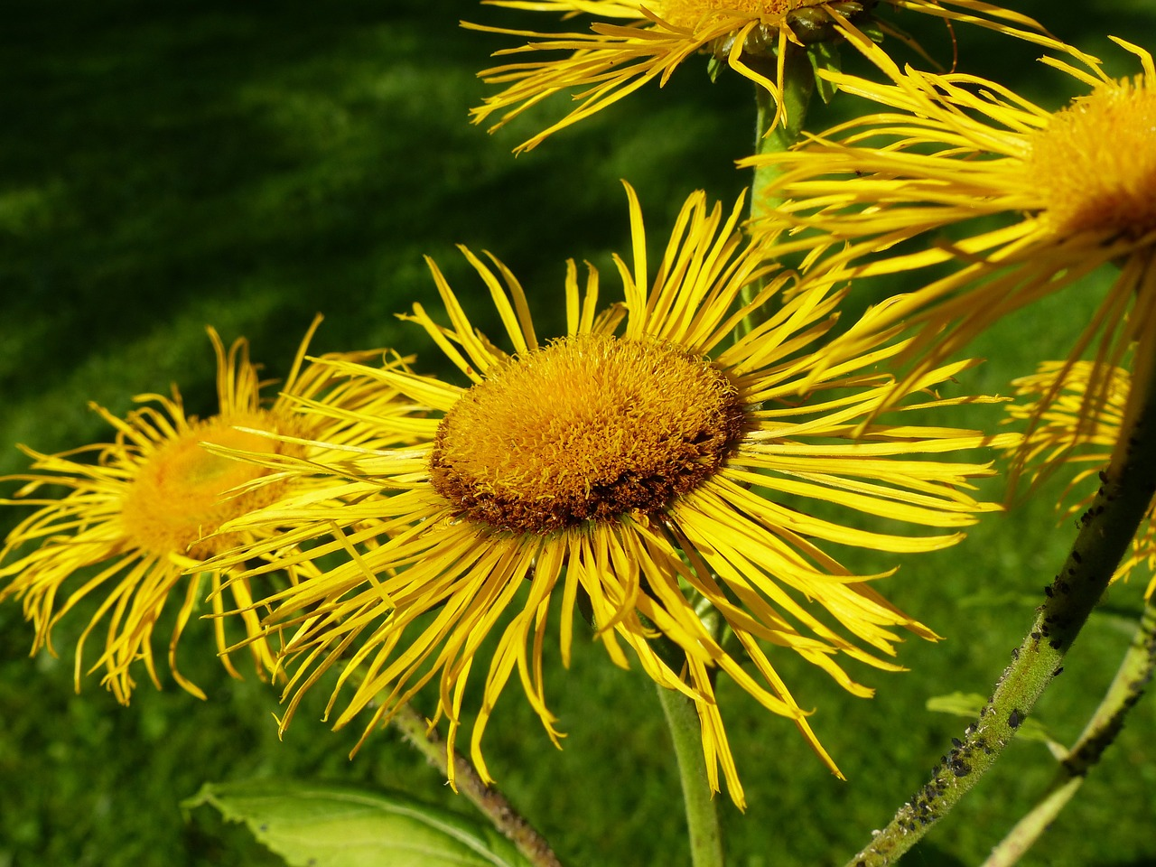 inula flower flowers free photo