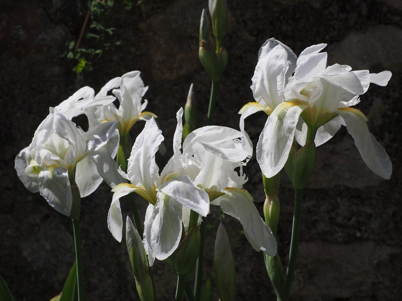 Irislilyflowerblossombloom Free Photo From Needpix