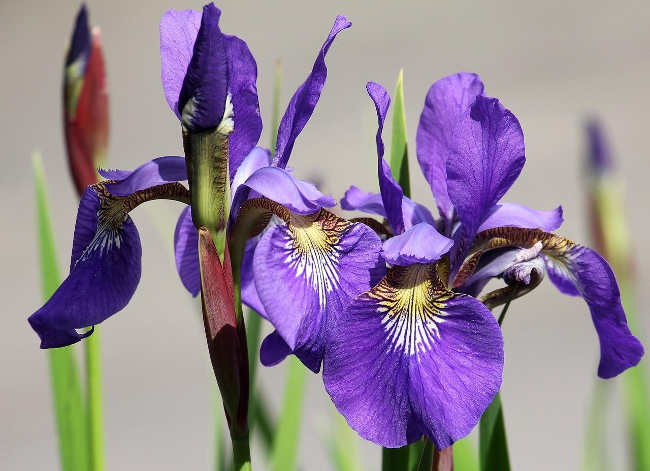 Irisflowergardenpurpleflora free photo from needpix iris flower garden izmirmasajfo