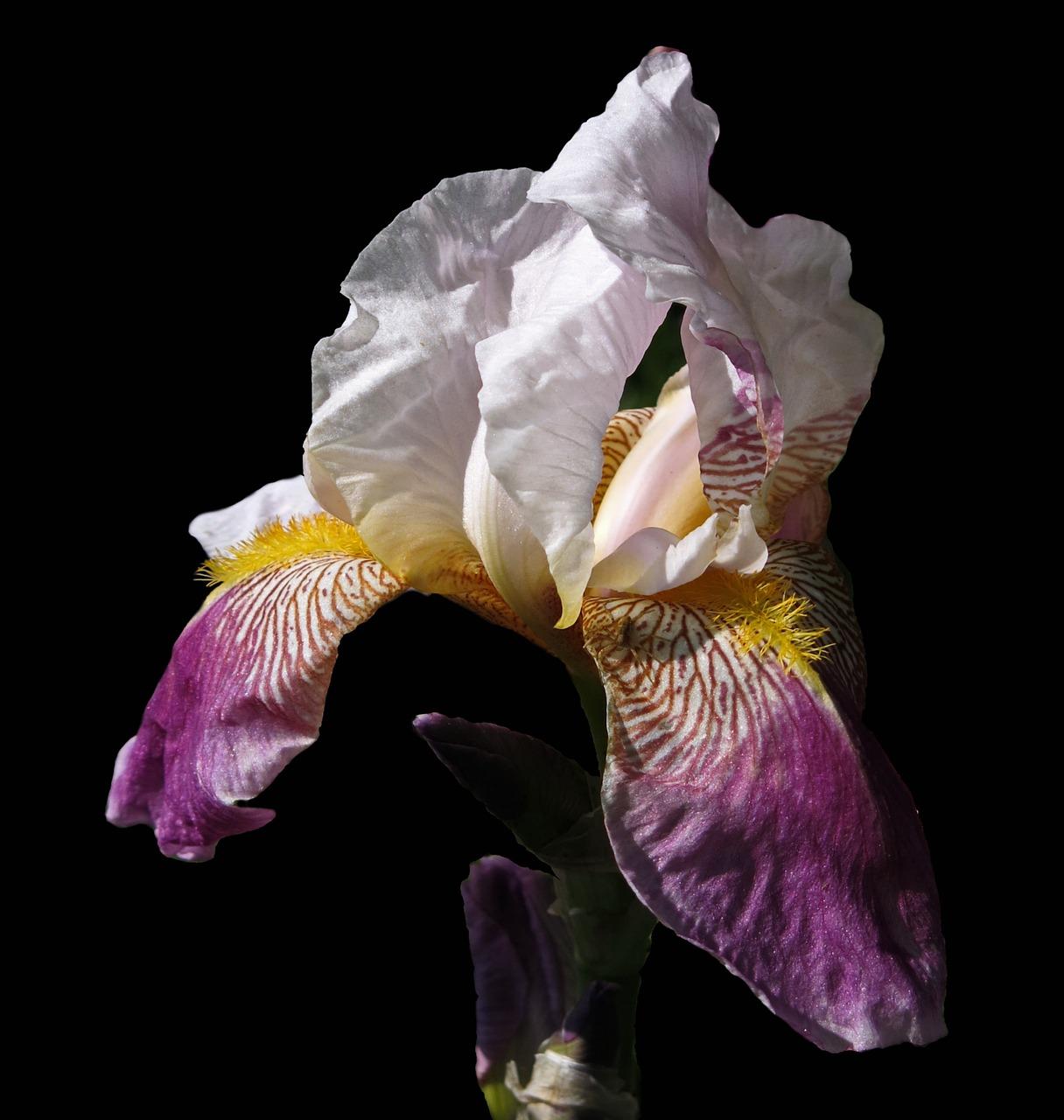 Irisplantbearded irishigh beard irisflower free photo from irisplantbearded irishigh beard irisflowerblossombloom izmirmasajfo