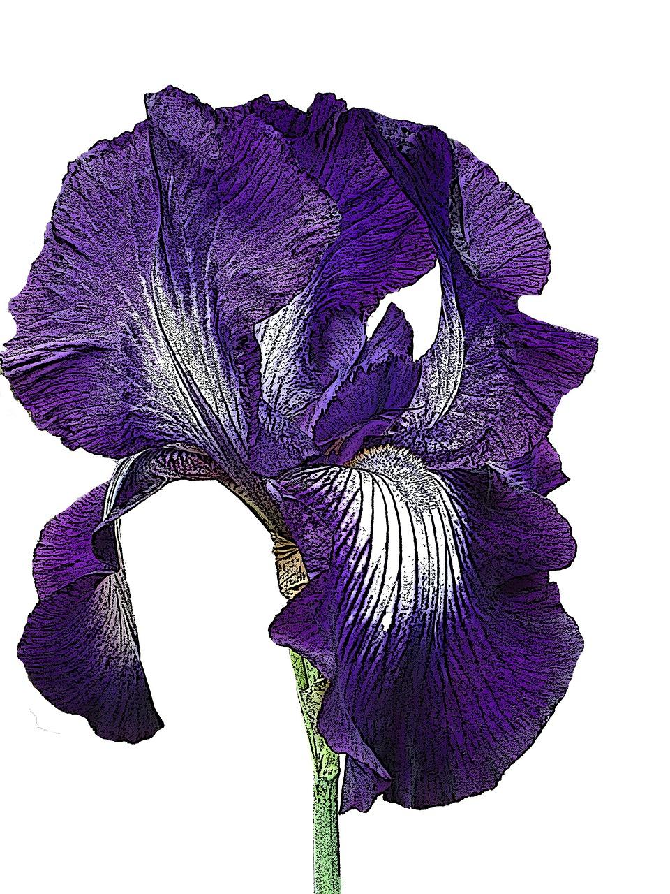 iris purple flower free photo
