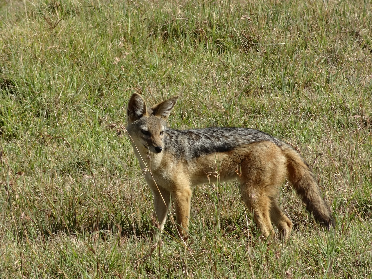 jackal savannah hunting free photo