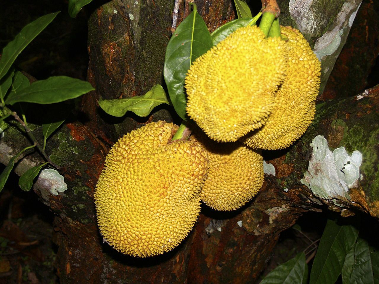 jackfruit tree tree yellow free photo