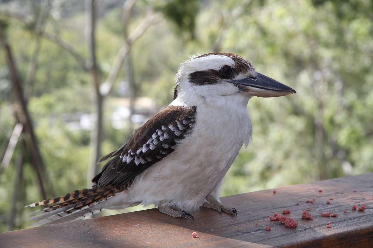 jaegerliest,dacelo novaeguineae,bird,lachender hans,kingfisher,alcedinidae,kookaburra,animal world,feed,bill,waiting,feeding,white,brown,plumage,curious,free pictures, free photos, free images, royalty free, free illustrations, public domain